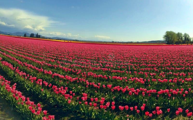 Tulipany w górze Vernon, stan washington obrazy royalty free