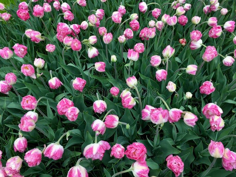 Tulipany w Keukenhof zdjęcie royalty free