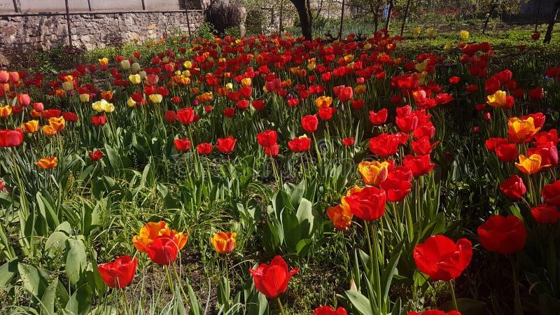 Tulipany w ogr?dzie fotografia royalty free