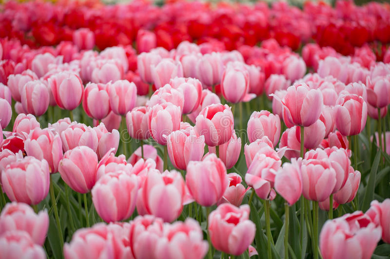 Tulipas fotos de stock royalty free