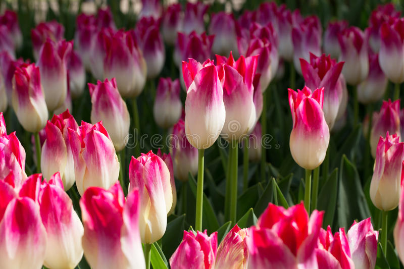 Tulipas foto de stock royalty free