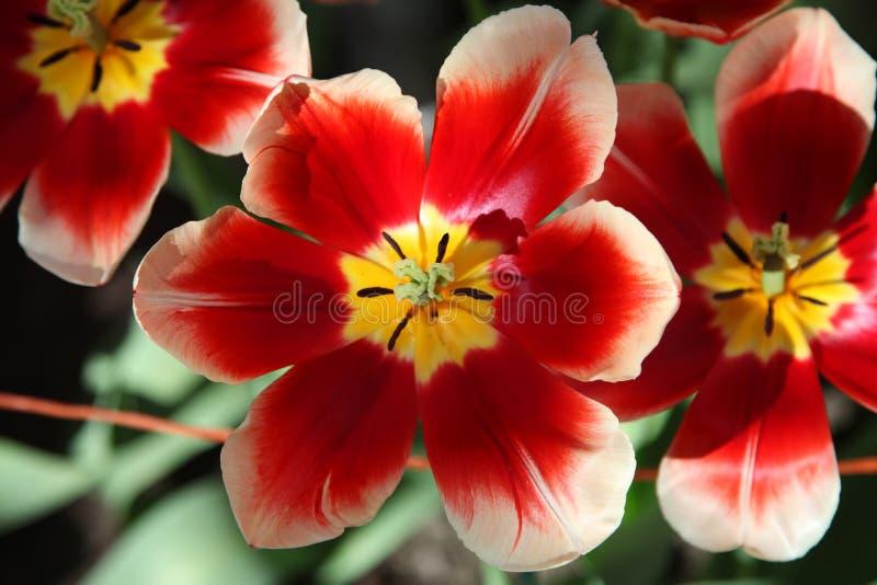 Tulipas abertas vermelho-amarelas grandes que crescem no canteiro de flores no sol fotos de stock royalty free
