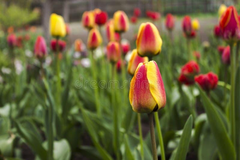 Tulipas alaranjadas na flor no jardim A mola floresce o fundo imagens de stock