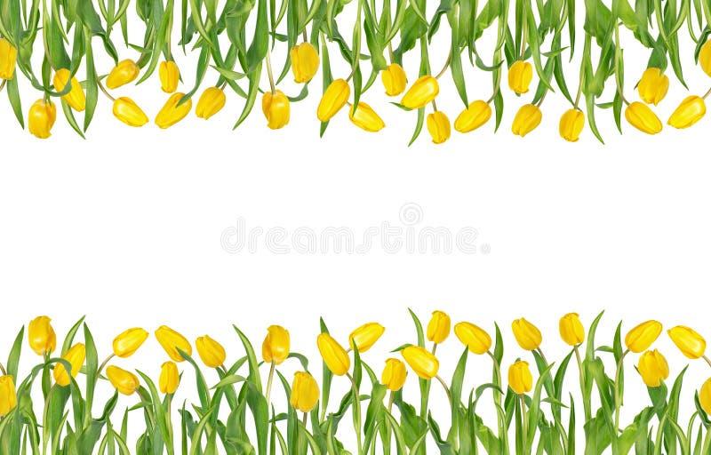 Tulipas amarelas bonitas em hastes com as folhas verdes no quadro horizontal sem emenda Isolado no fundo branco ilustração royalty free