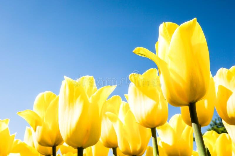 Download Tulipas - tulipa foto de stock. Imagem de sunlight, abaixo - 29841570