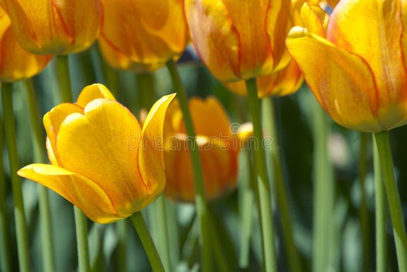 Download Nederlandse Beste foto de stock. Imagem de tulip, bonito - 29846226