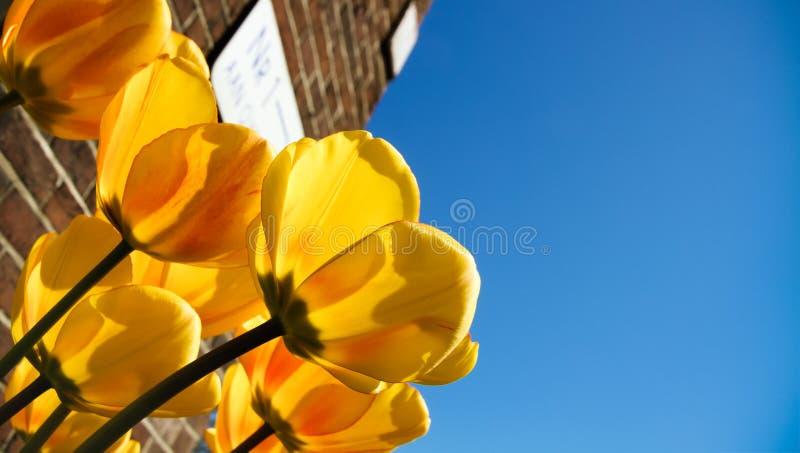 Tulipas amarelas da mola que florescem com hastes verdes contra um fundo típico da parede de tijolo vermelho e um céu azul ensola foto de stock royalty free