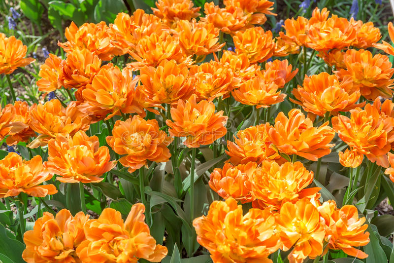 Tulipas amarelas de terry no canteiro de flores fotografia de stock