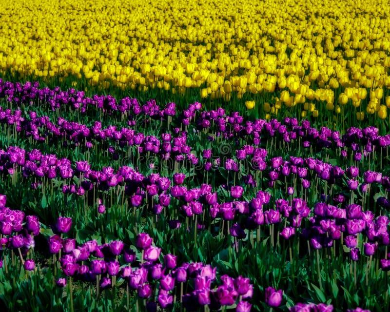 Tulipas amarelas e roxas na flor completa fotografia de stock