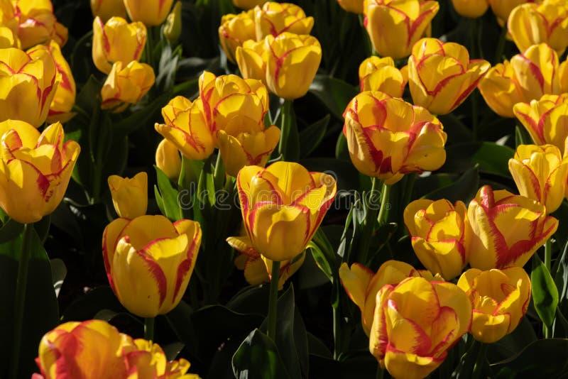 Tulipas amarelas e vermelhas na flor completa fotografia de stock royalty free