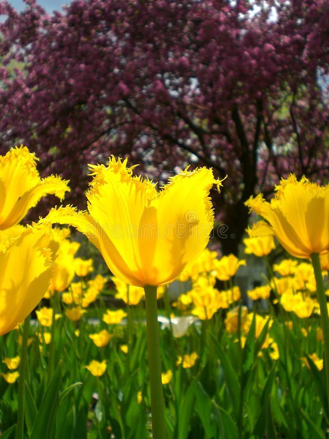 Tulipas amarelas Ottawa Canadá da primavera foto de stock royalty free
