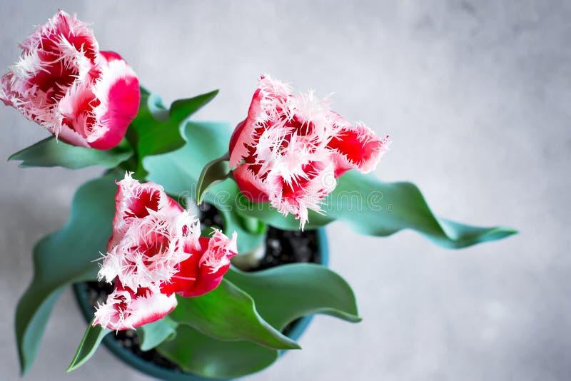 Tulipas bonitas de terry crescidas em casa em um potenciômetro Vista superior com bobina foto de stock