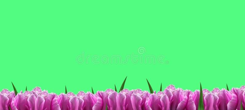 Tulipas bonitas em um fundo verde Copie o espa?o Fundo da flor ano novo feliz 2007 Bandeira festiva fotografia de stock royalty free