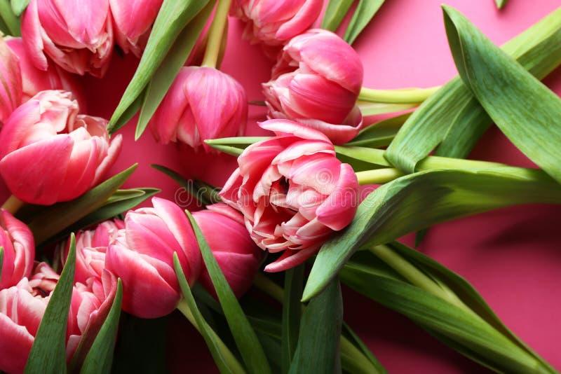 Tulipas bonitas no fundo cor-de-rosa, fim acima imagem de stock