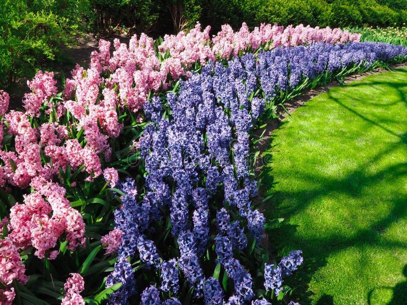 Tulipas bonitas no símbolo da mola do país dos Países Baixos fotos de stock