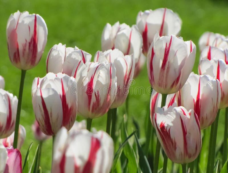 Tulipas brancas com rosa, listrar vermelho imagem de stock royalty free