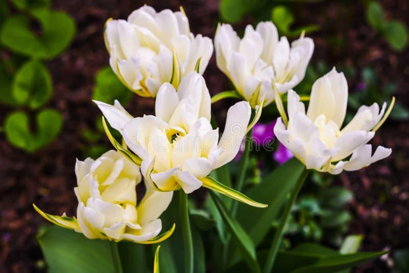 Tulipas brancas de florescência de terry com as pétalas listradas amarelas fotos de stock