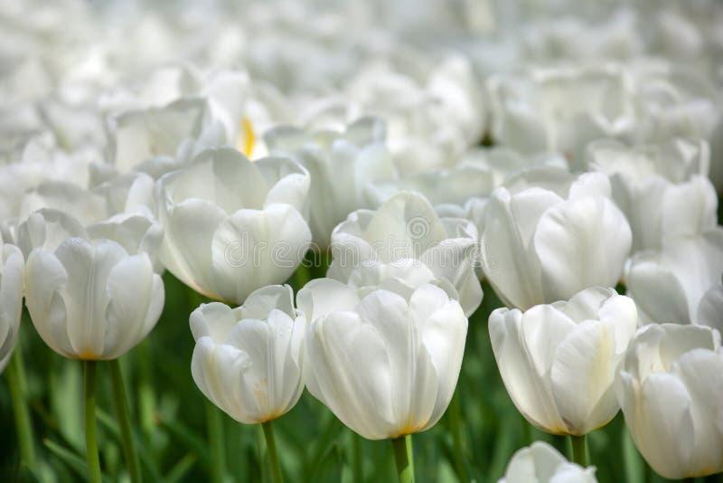 Tulipas brancas frescas com gotas da chuva foto de stock