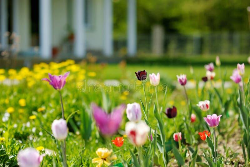 Tulipas coloridas bonitas na frente de uma casa fotos de stock royalty free