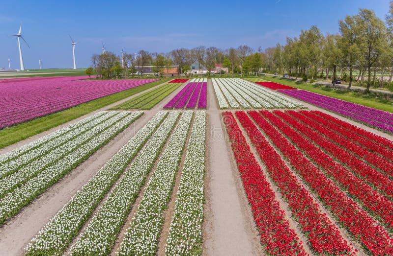 Tulipas coloridas campo e turbinas eólicas foto de stock
