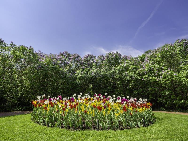 Tulipas coloridas e conversão lilás foto de stock