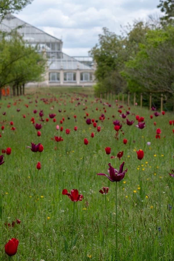 Tulipas coloridas entre a grama longa em jardins de Kew, Londres Reino Unido Estufa no foco macio na distância fotos de stock royalty free