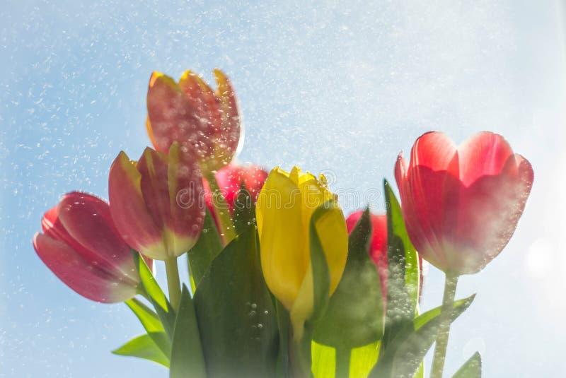 tulipas coloridos em um fundo azul fotografia de stock royalty free