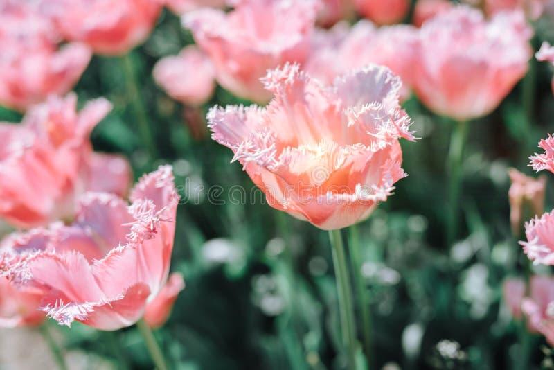 Tulipas cor-de-rosa bonitas em um canteiro de flores com luz ensolarada foto de stock
