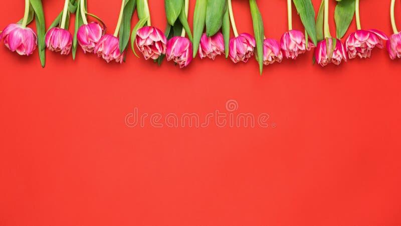 Tulipas cor-de-rosa da peônia em Coral Red Background imagem de stock