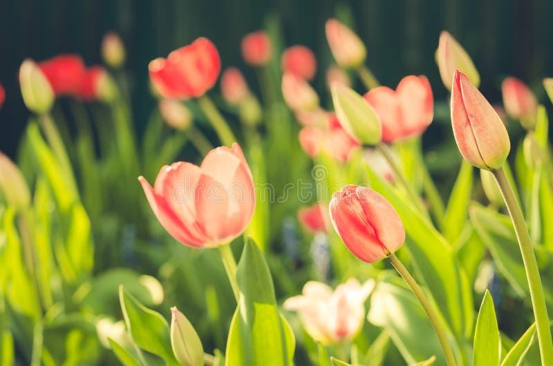 Tulipas cor-de-rosa das flores do campo Cena bonita da natureza com a tulipa cor-de-rosa de florescência no alargamento do sol/fl fotografia de stock