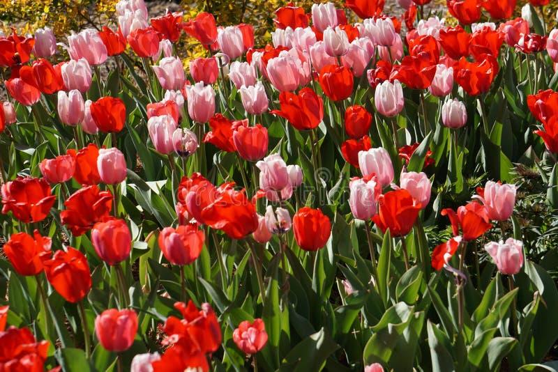 Tulipas cor-de-rosa e vermelhas da mola fotografia de stock royalty free