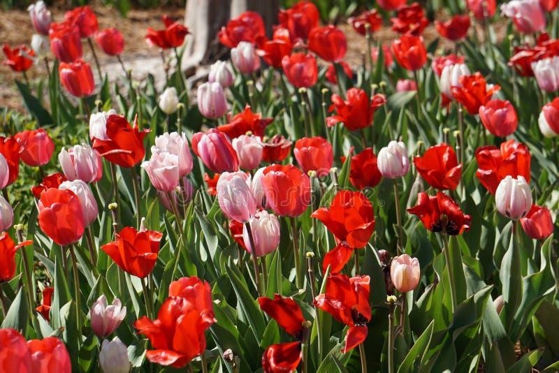 Tulipas cor-de-rosa e vermelhas da mola foto de stock