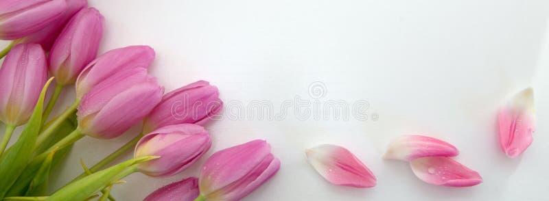 Tulipas cor-de-rosa isoladas no fundo de madeira branco Fundo das celebra??es foto de stock royalty free