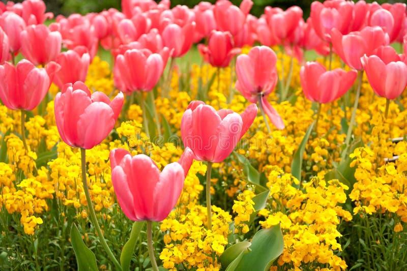 Tulipas cor-de-rosa no jardim imagem de stock