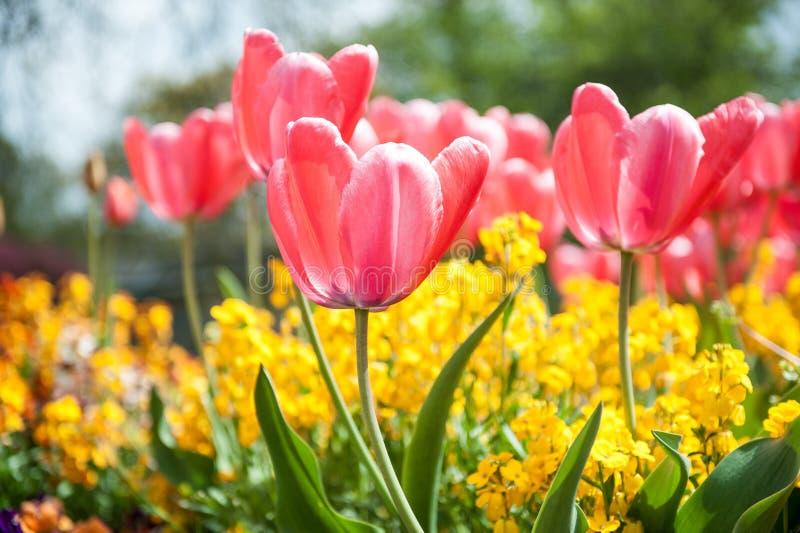 Tulipas cor-de-rosa no jardim imagem de stock royalty free