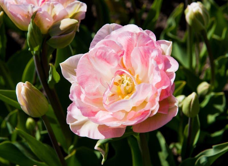 Tulipas cor-de-rosa no jardim foto de stock