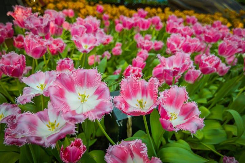 Tulipas cor-de-rosa no jardim fotografia de stock royalty free