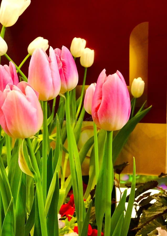 Tulipas cor-de-rosa foto de stock