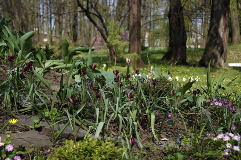 Tulipas de anão no parque da universidade do nacional de Chernivtsi fotos de stock
