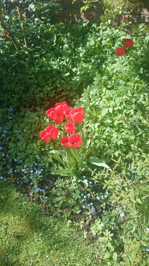 Tulipas de florescência do vermelho fotos de stock