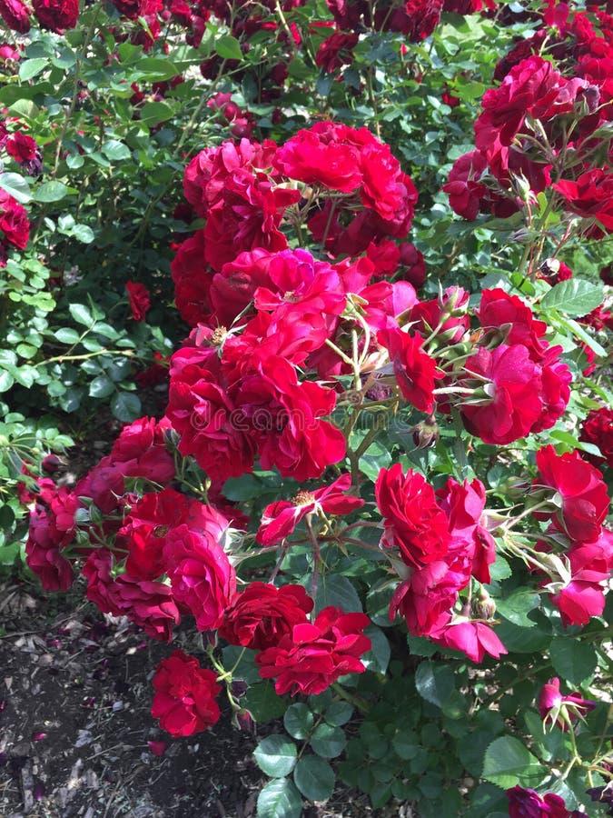Tulipas do rosa de Fuschia foto de stock