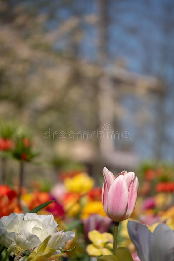 Tulipas e lírios coloridos em jardins de Keukenhof, Lisse, Países Baixos Moinho de vento no foco macio no fundo fotos de stock