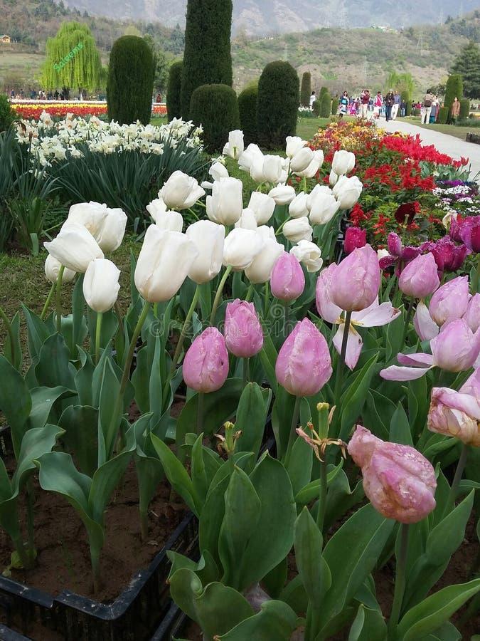 Tulipas em Asia& x27; s Tulip Garden Srinagar a maior fotos de stock royalty free