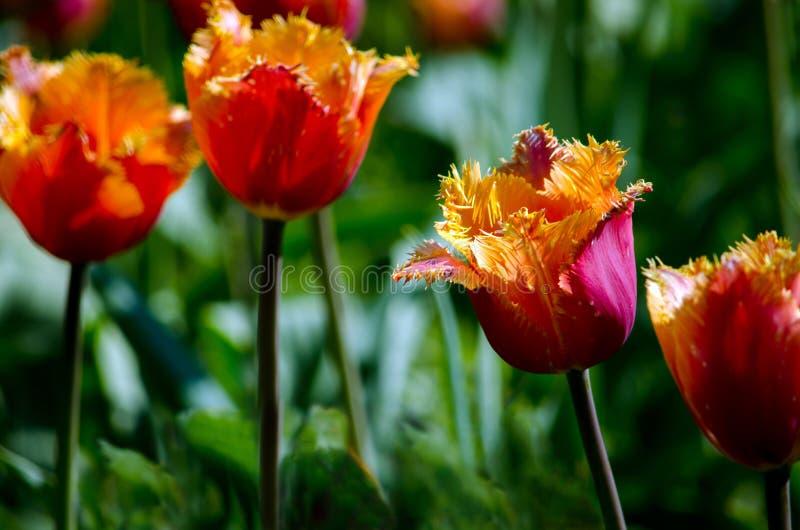 Tulipas em um jardim da mola imagem de stock royalty free