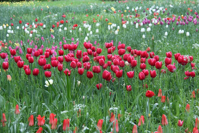Tulipas - flores bonitas da mola de cores diferentes fotografia de stock