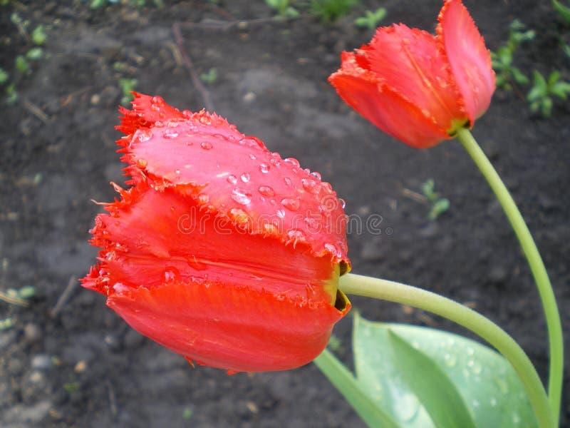 Tulipas franjadas vermelhas com pingos de chuva em um fundo escuro fotos de stock