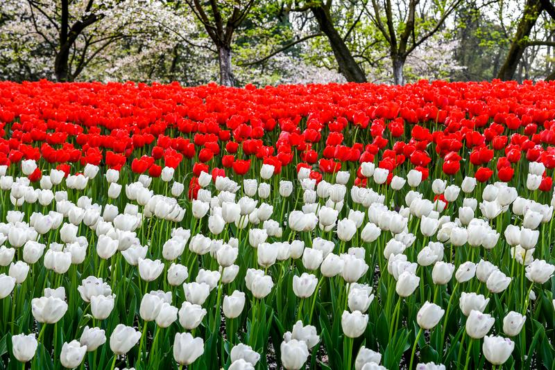 Tulipas frescas coloridas da paisagem da mola que florescem no jardim em Hangzhou, CHINA imagem de stock royalty free