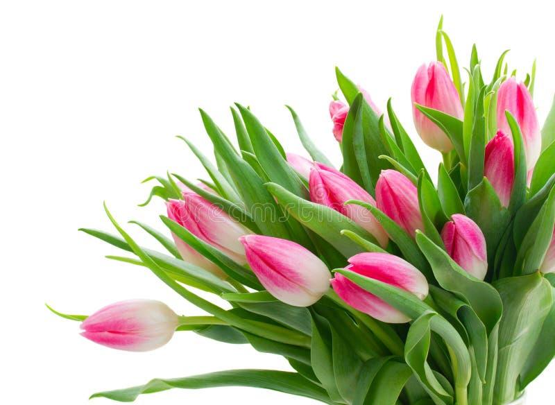 Tulipas frescas cor-de-rosa imagens de stock