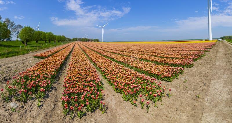 Tulipas holandesas coloridas do panorama em um campo de flor e em um moinho de vento na Holanda fotografia de stock royalty free