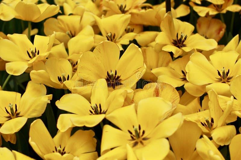 Tulipas holandesas - vermelho & amarelo fotografia de stock
